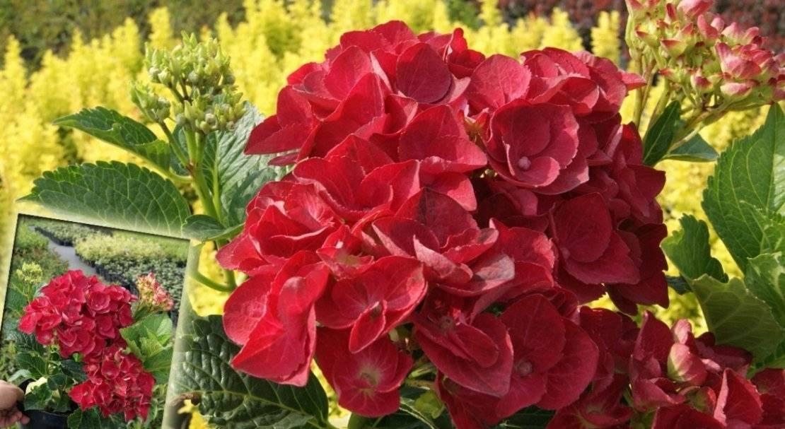 Крупнолистная гортензия в саду — размножение и особенности ухода