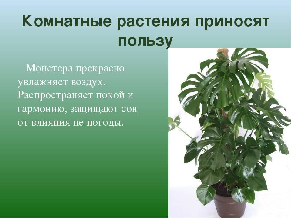 Растение монстера можно ли держать дома