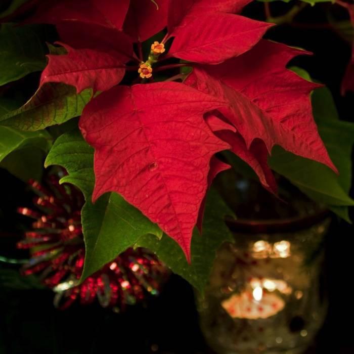 Рождественская звезда пуансеттия в вашем доме - как правильно ухаживать?