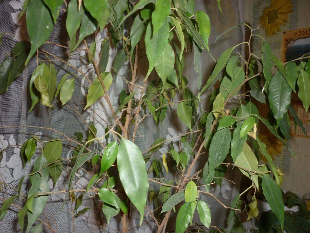 Что делать, если у мирта листья: засохли, опадают или скручиваются? болезни и вредители вечнозеленого растения