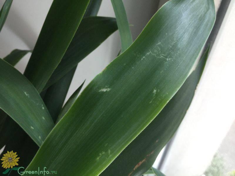 Почему у юкки желтеют и сохнут листья?