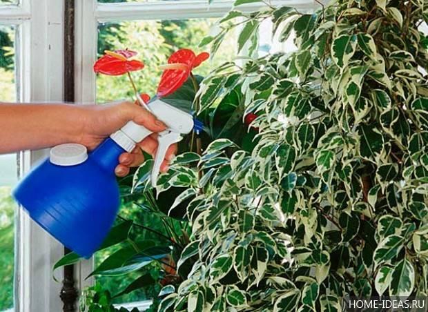 Как правильно сажать фикус в домашних условиях