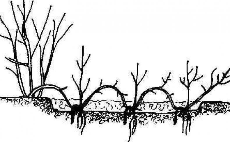 Спирея серая грефшейм: посадка и уход, обрезка, размножение, фото
