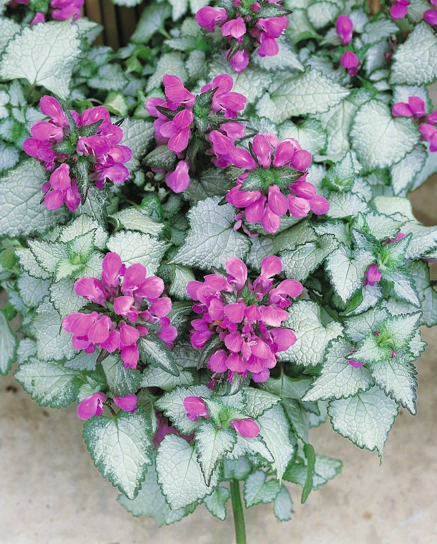 О видах растения яснотка: пурпурная, желтая, пестролистная, розовая, серебристая