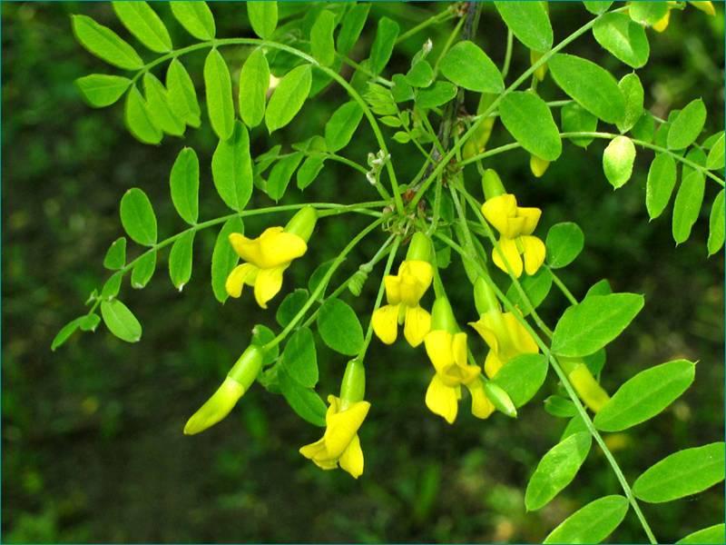 Акация желтая: как вырастить и пересадить акацию. практичные советы по посадке и уходу за деревом (115 фото и видео)