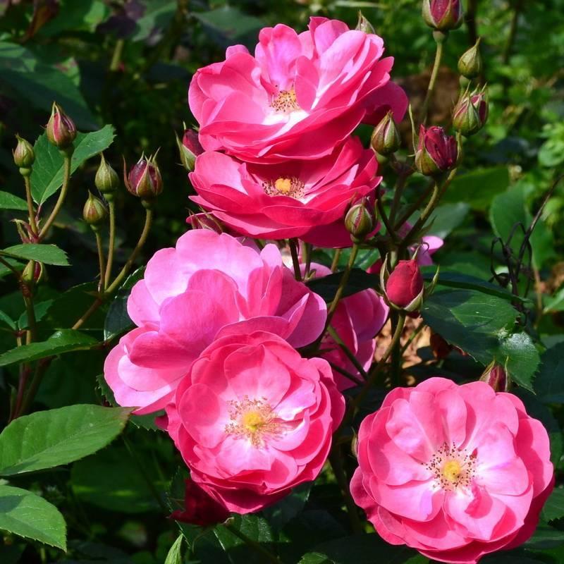 Мускусные розы: отзывы, фото, уход, лучшие сорта
