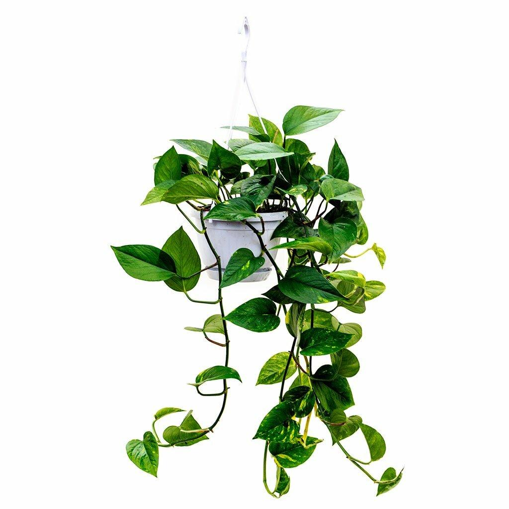 Комнатные растения-вьюны: особенности выращивания неприхотливых вьющихся лиан