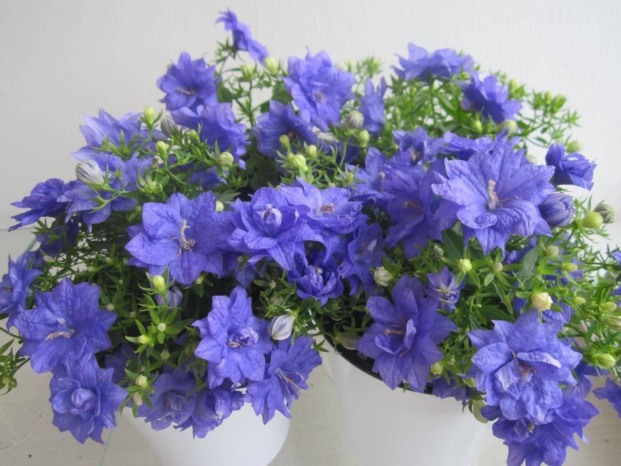Всё о комнатных цветках кампанулах, уходе в домашних условиях после покупки
