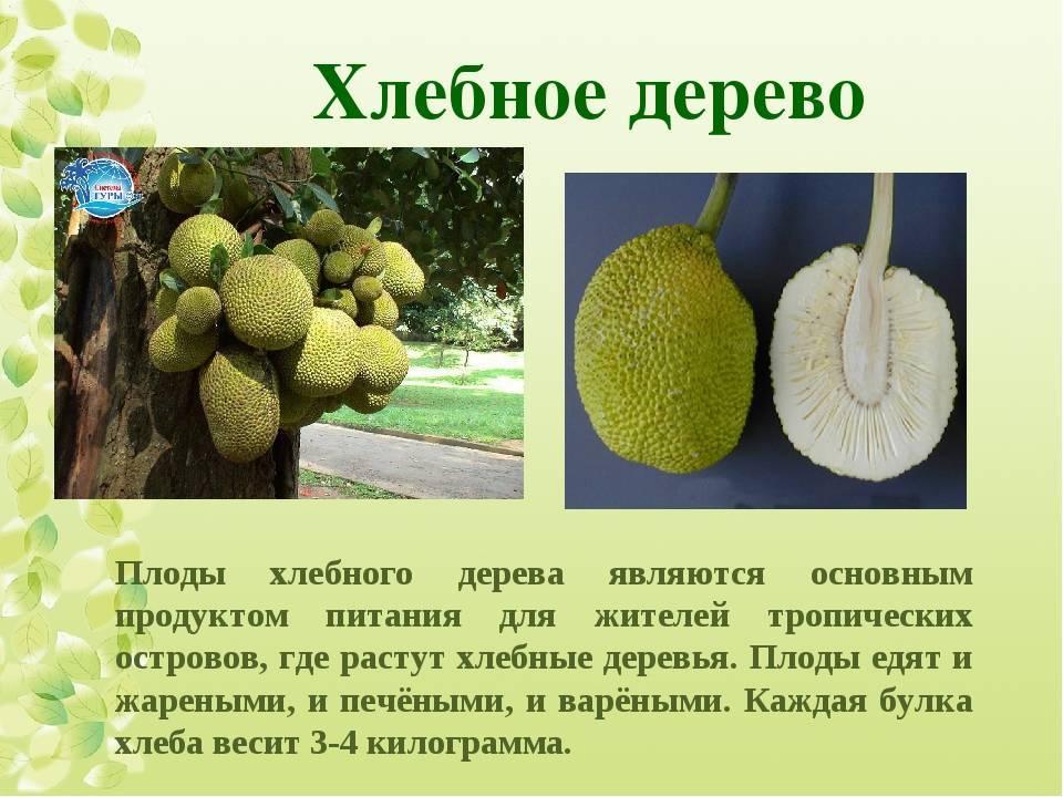 Хлебное дерево: описание, использование плодов, выращивание