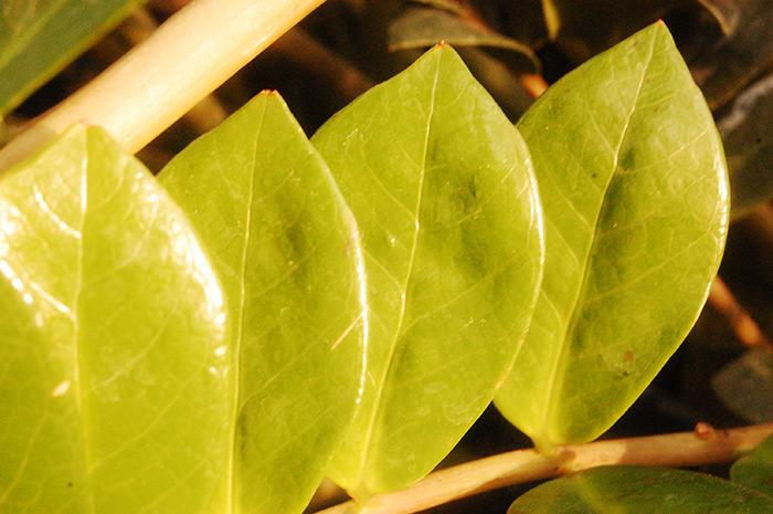 Замиокулькас — долларовое дерево