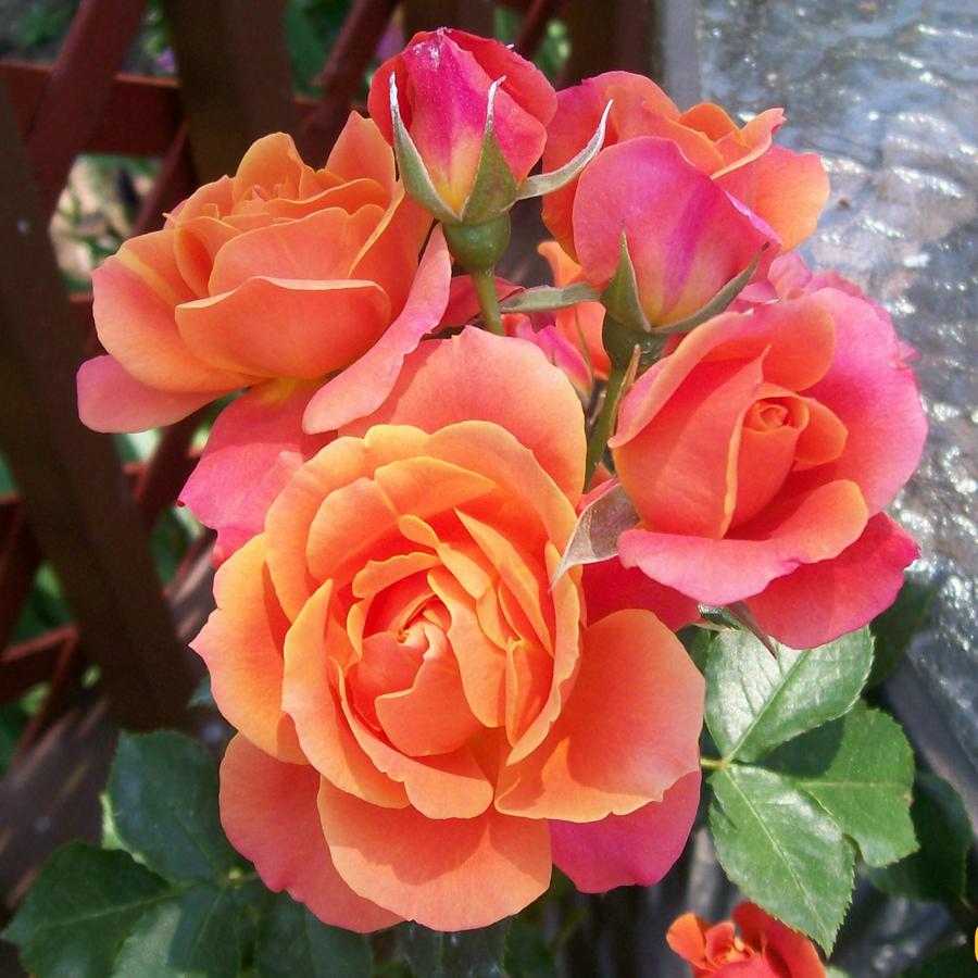 О розе принцесса монако (princesse de monaco): описание и характеристики