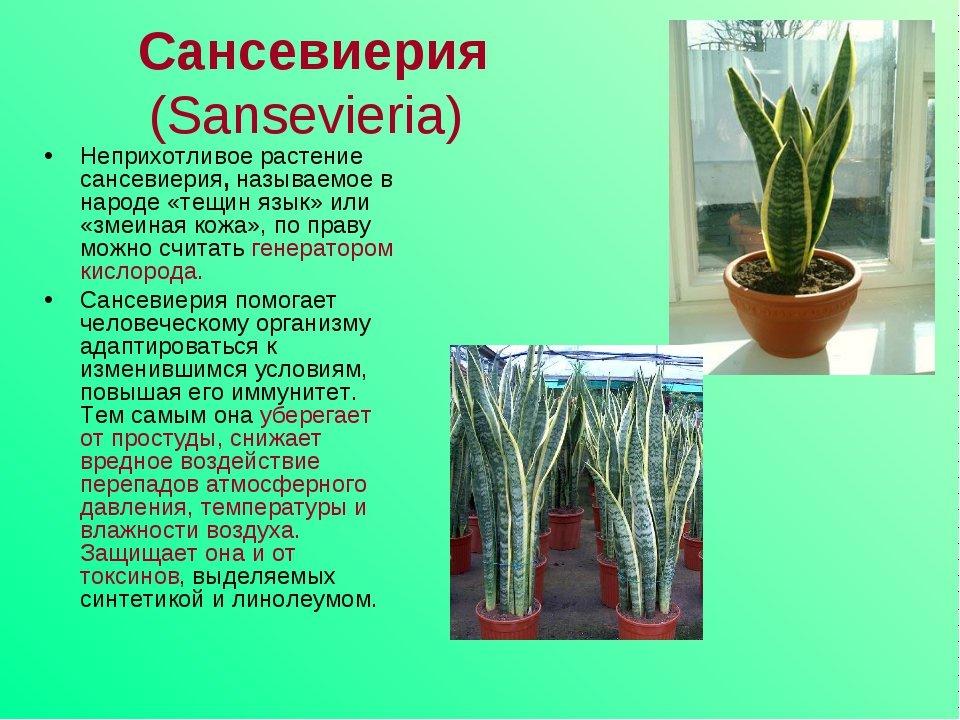 Сансевиерия цилиндрическая: особенности, виды, правила ухода
