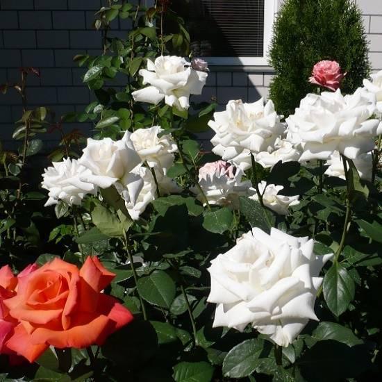 Розы чайно-гибридные: характеристика сортов