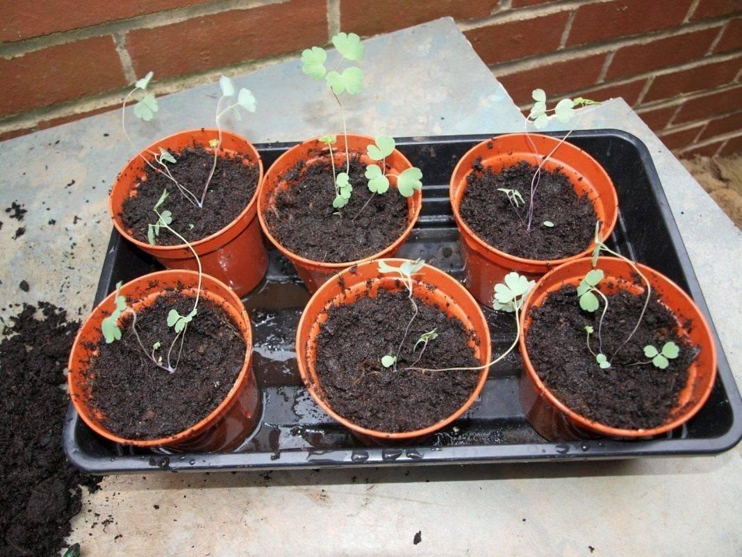 Аквилегия: выращивание из семян рассадой - пошаговая инструкция!