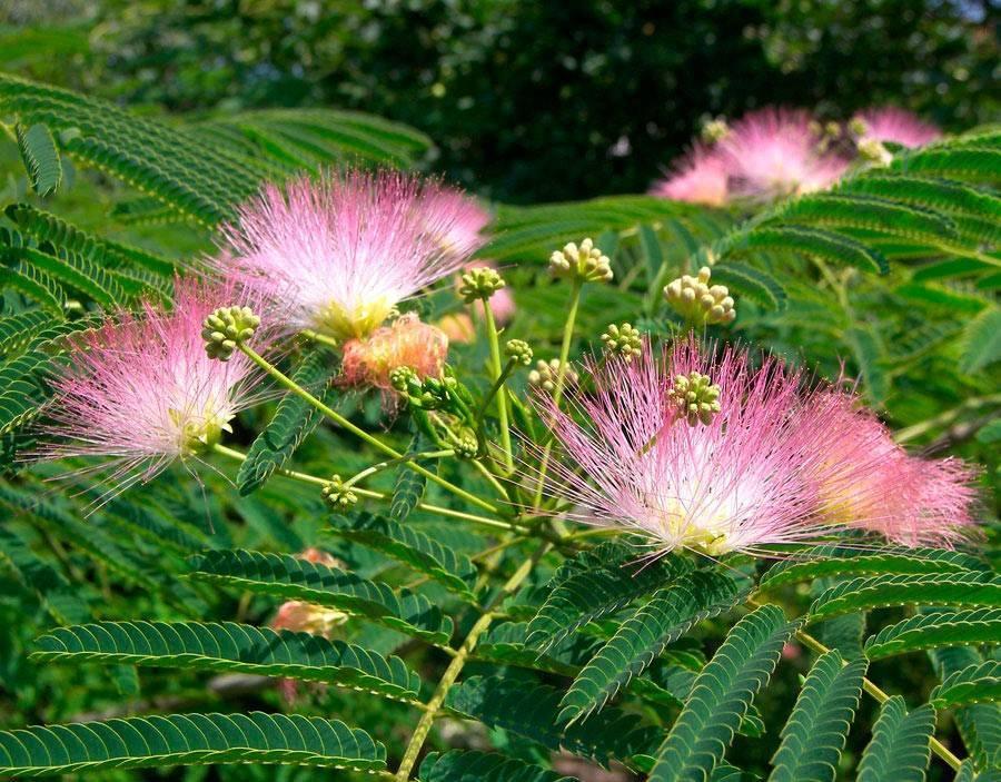Альбиция (ленкоранская акация): фото, посадка и уход, выращивание из семян