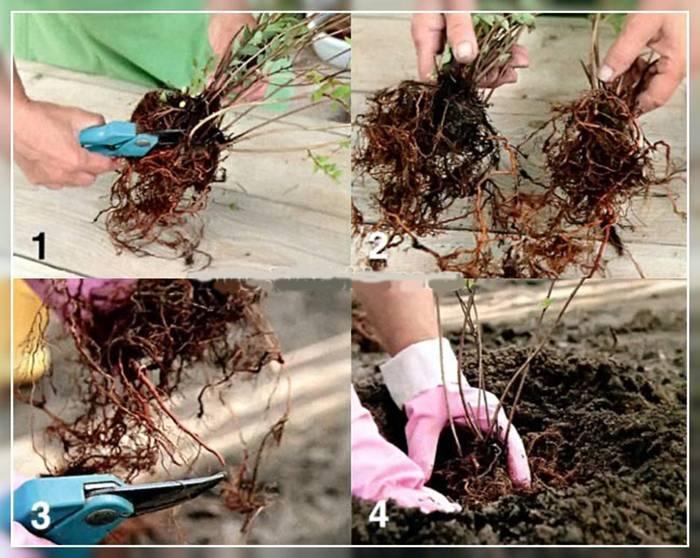 Лапчатка гусиная (32 фото): описание «судорожной травы». где растет potentilla anserina и как выглядит? выращивание растения из семян