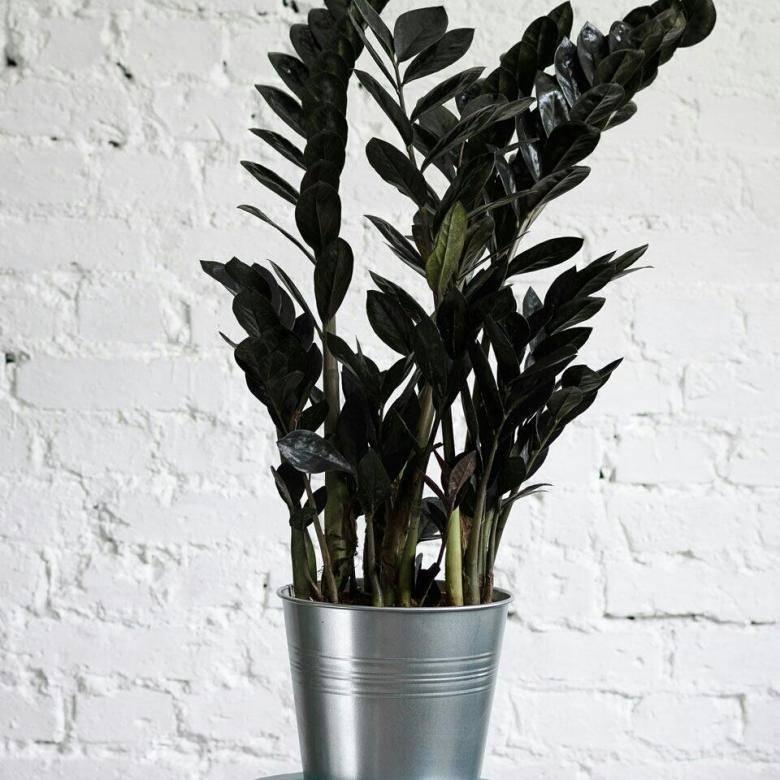 Замиокулькас (долларовое дерево): фото, виды и описание растения