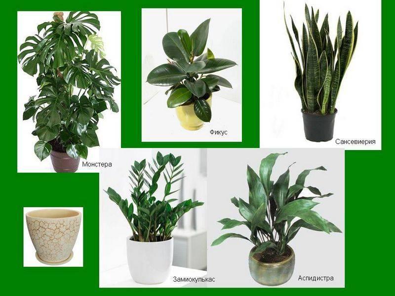 Комнатные растения: тенелюбивые и неприхотливые виды