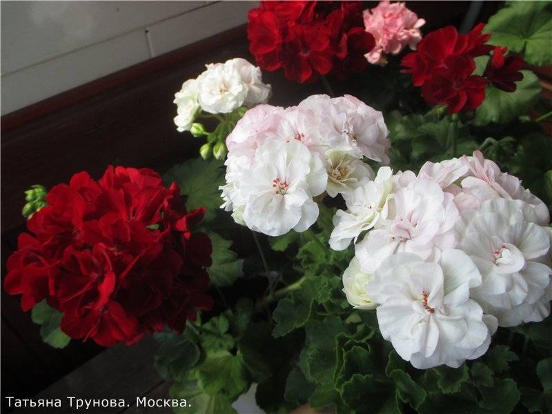 Прекрасная пеларгония: сорта растения с фото и описаниями. основные правила ухода