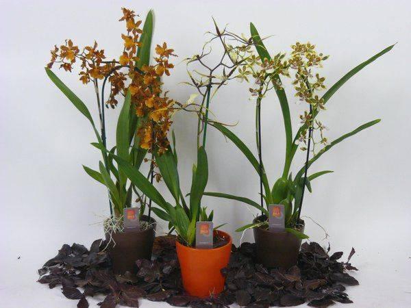Орхидея камбрия: уход в домашних условиях, размножение, пересадка, почему желтеет