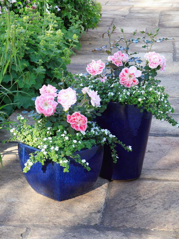 Посадка куфеи в открытый грунт или вазон. уход за цветком в саду и дома