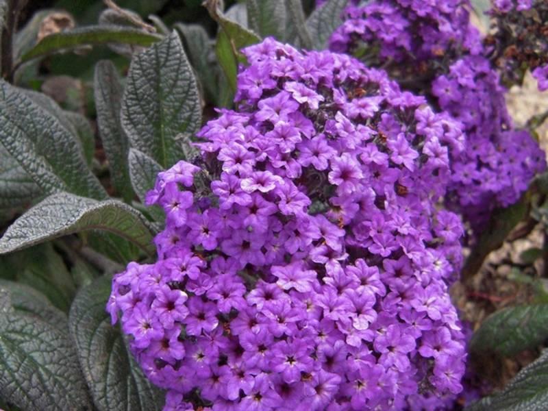 Посадка гелиотропа, уход за многолетним цветком, сорта: морской бриз, марин, европейский