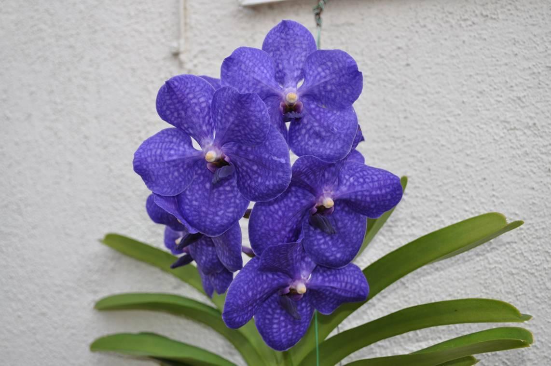 Орхидея ванда: выращивание и уход в домашних условиях