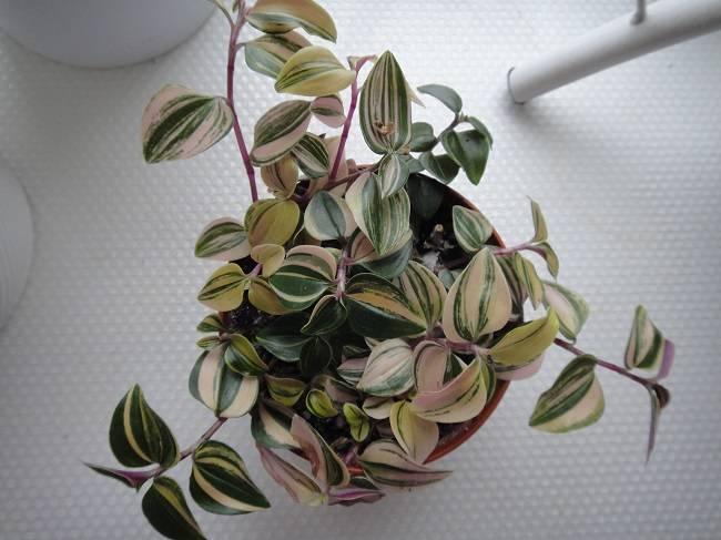 Традесканция — уход за цветком в домашних условиях, виды и сорта ?