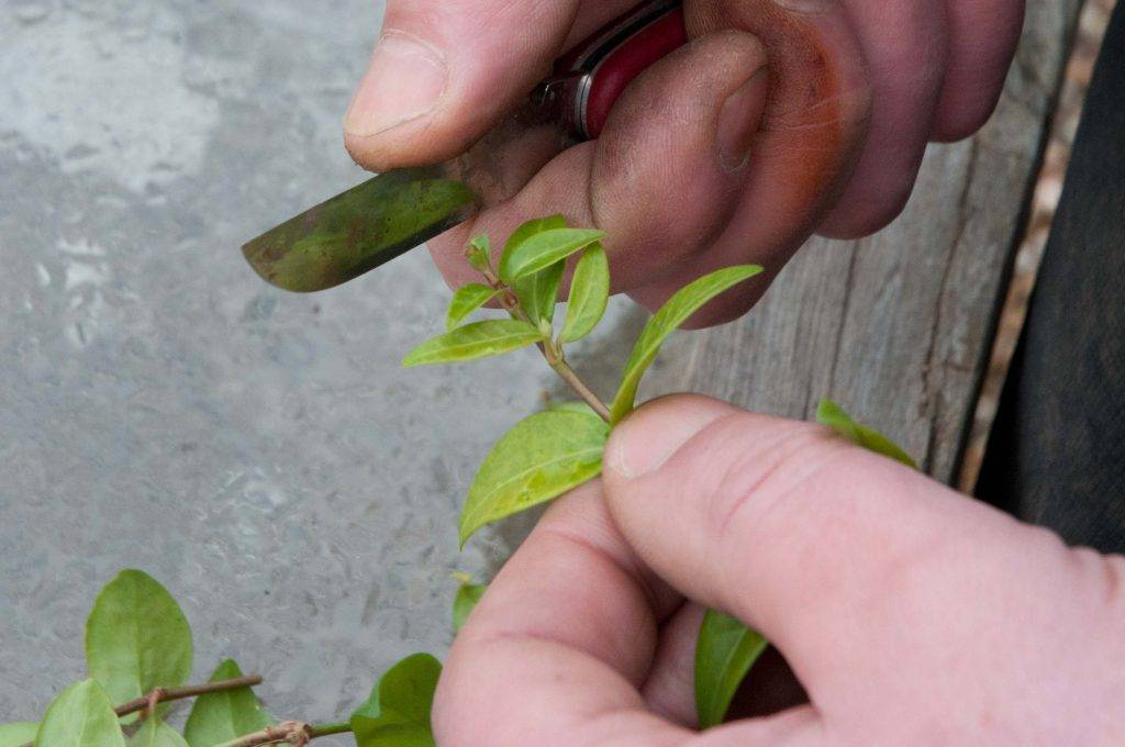 Размножение чубушника: методы, время, правила