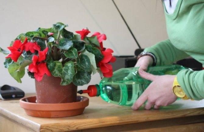 Как поливать цикламен — правила ухода во время цветения и в период покоя