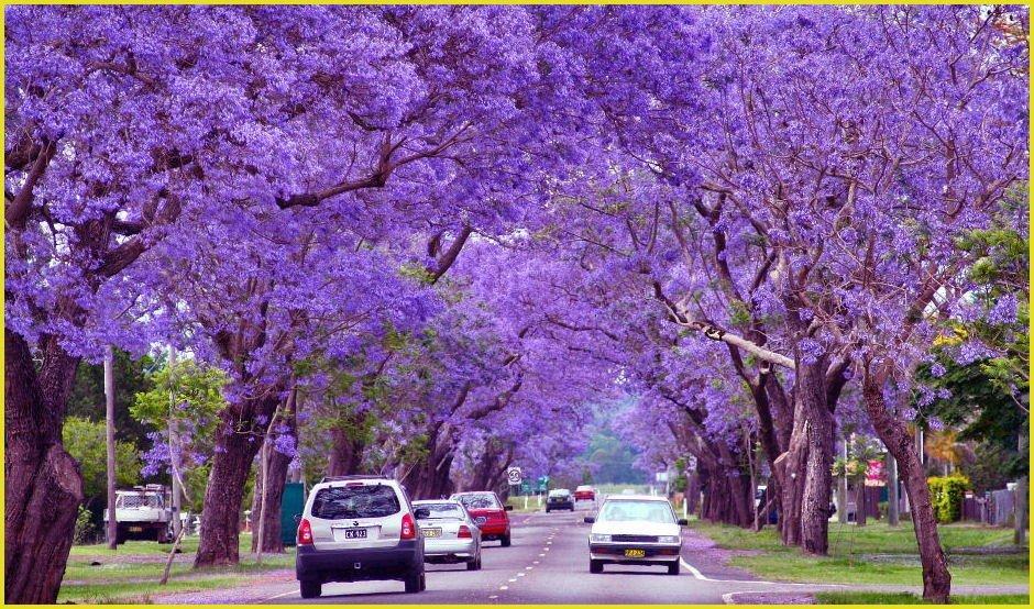 Жакаранда — дерево с фиолетовыми цветами
