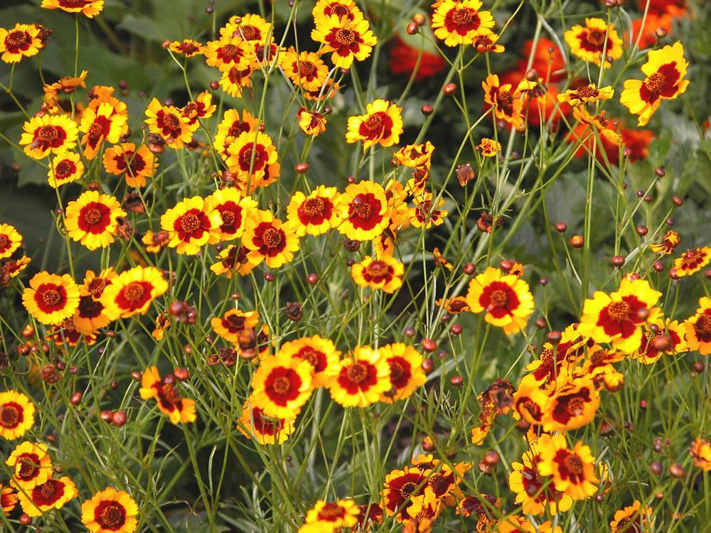 Кореопсис многолетний: посадка и уход, выращивание из семян