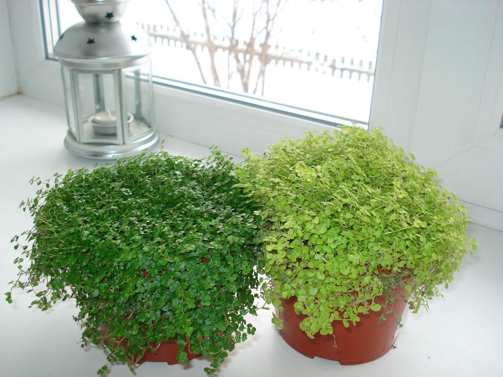 Как ухаживать за солейролией: выращиваем нежные «шарики» для эффектных фитокомпозиций