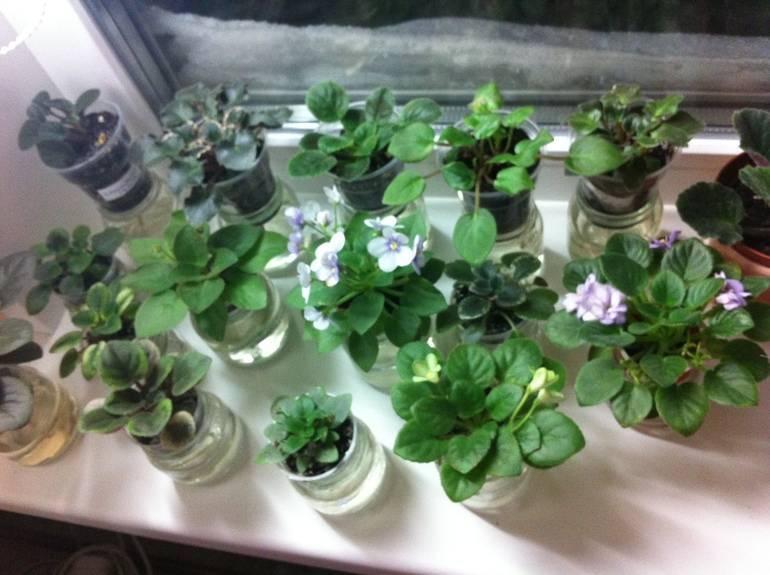 Фиалка или сенполия — уход в домашних условиях
