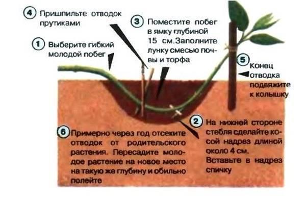 Монарда: посадка и уход за растением в открытом грунте