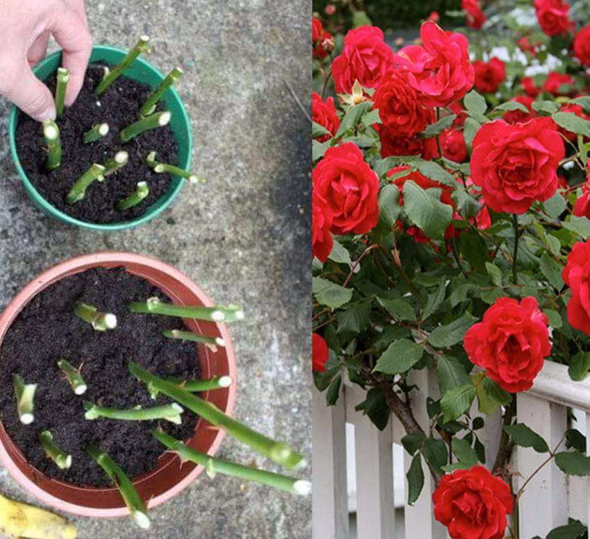 Роза домашняя: уход, советы и рекомендации