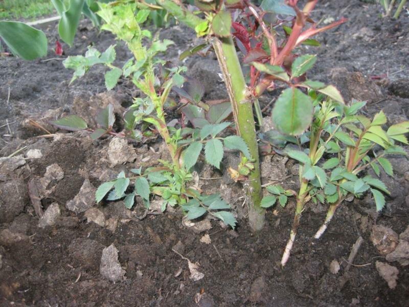 Роза перерождается в шиповник: причины, первые признаки, что делать, как предотвратить, технология ухода за розами, правила подкормки