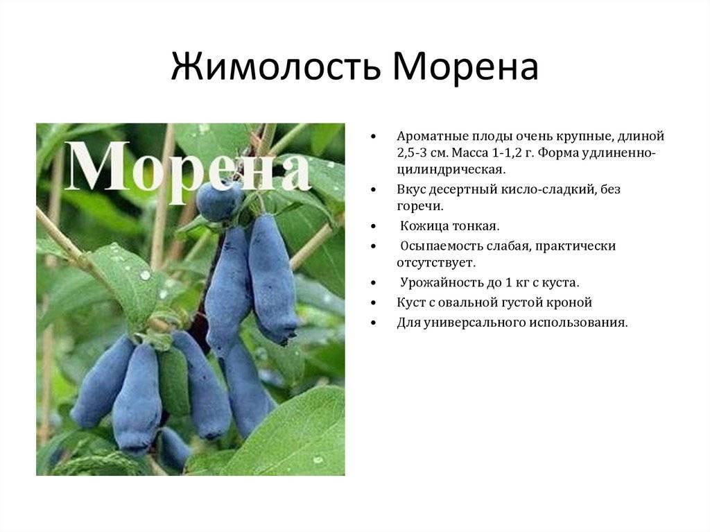 Характеристики и особенности выращивания жимолости фиалка