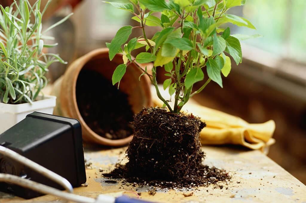 Выращивание фикуса лировидного: как посадить, ухаживать, удобрять, размножать