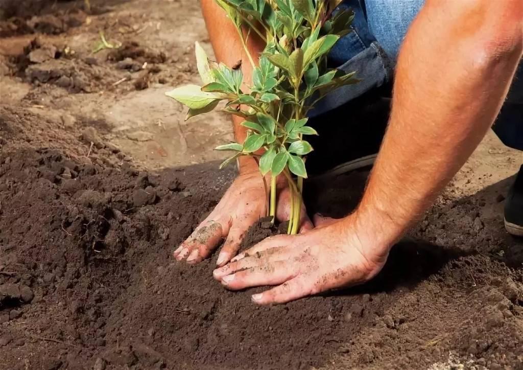 Агротехника выращивания очитка видного в открытом грунте: как ухаживать, удобрять