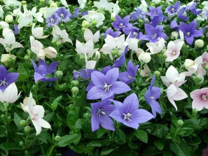 Платикодон - выращивание из семян в домашних условиях, как и когда сеять (фото)