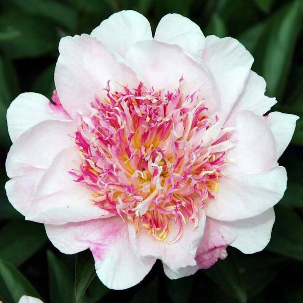 Описание травянистого сорта молочноцветкового (lactiflora) пиона карл розенфельд