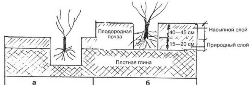 Лапчатка прямостоячая (калган): лечебные свойства, противопоказания, применение
