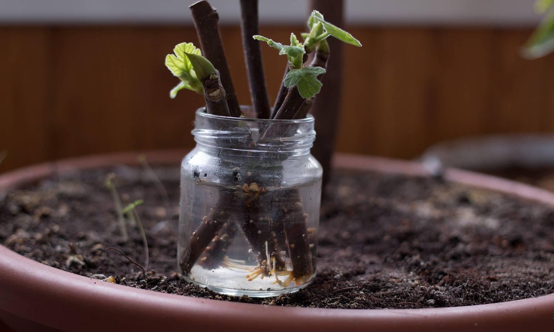 Выращивание в открытом грунте кактуса опунция — превращаем сад в пустыню