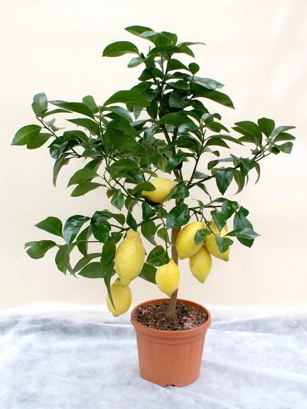 Выращивание комнатного лимона в домашних условиях. особенности выращивания лимона из косточки. агротехника выращивания лимона в комнате