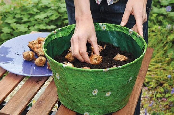 Как выращивать гладиолусы в кашпо