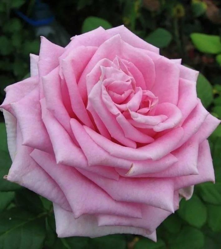 Описание розы аква - уход и выращивание растения. как выглядит роза аква на фото в период цветения.