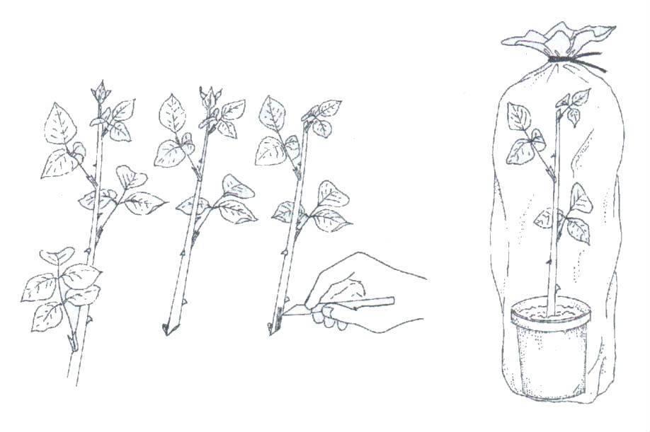 Размножение роз: как размножать розы черенками осенью в домашних условиях? как укоренить черенки? как правильно посадить?