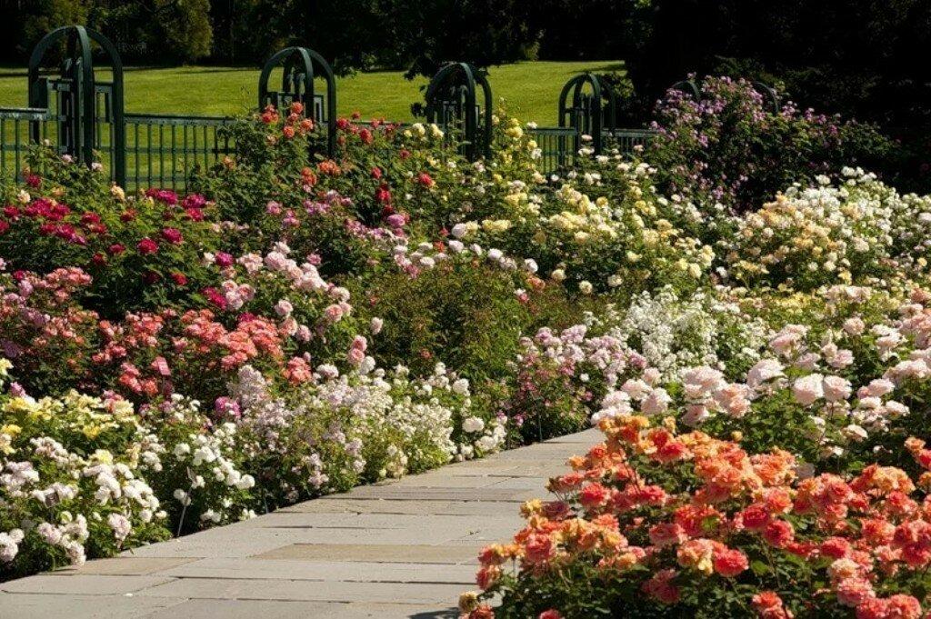 Парковые розы (77 фото): что это такое? виды и сорта, правила ухода и выращивания. как укрыть их на зиму? особенности обрезки растений