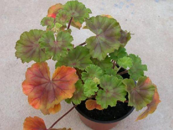 У герани желтеют листья - чем обработать, подкормить, причины